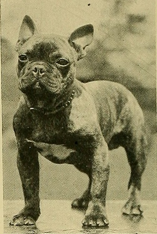 Where do french bulldogs come from?