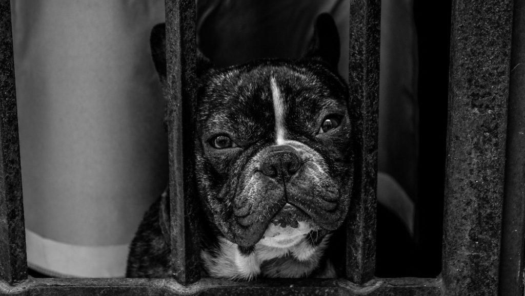 What Were french bulldogs bred for -Frenchbulldogio