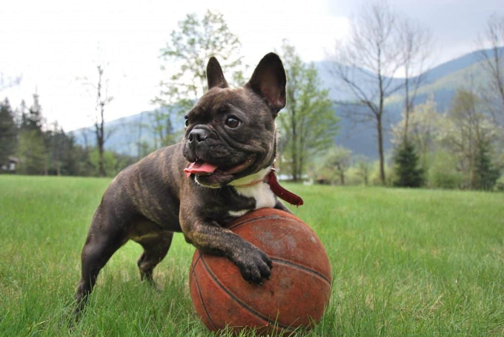 Are French Bulldogs east to train?