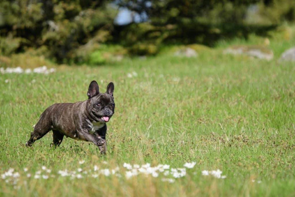 Are french bulldogs good pets?