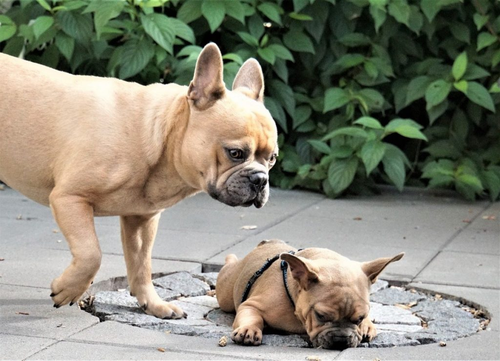 cost of french bulldog puppies