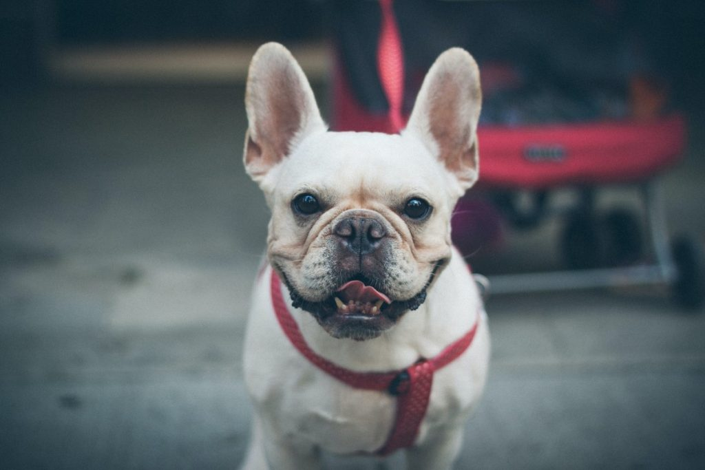 Grooming French Bulldogs