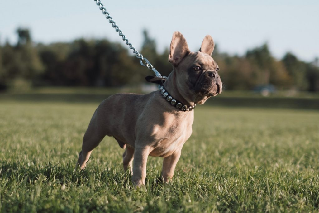 are french bulldogs high maintenance?
