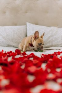 The Best Elevated Dog Beds For French Bulldogs (2021)