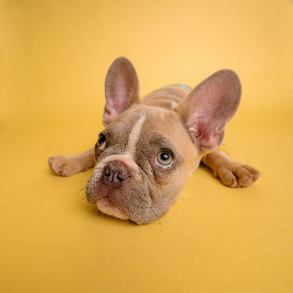 do french bulldogs have health problems?