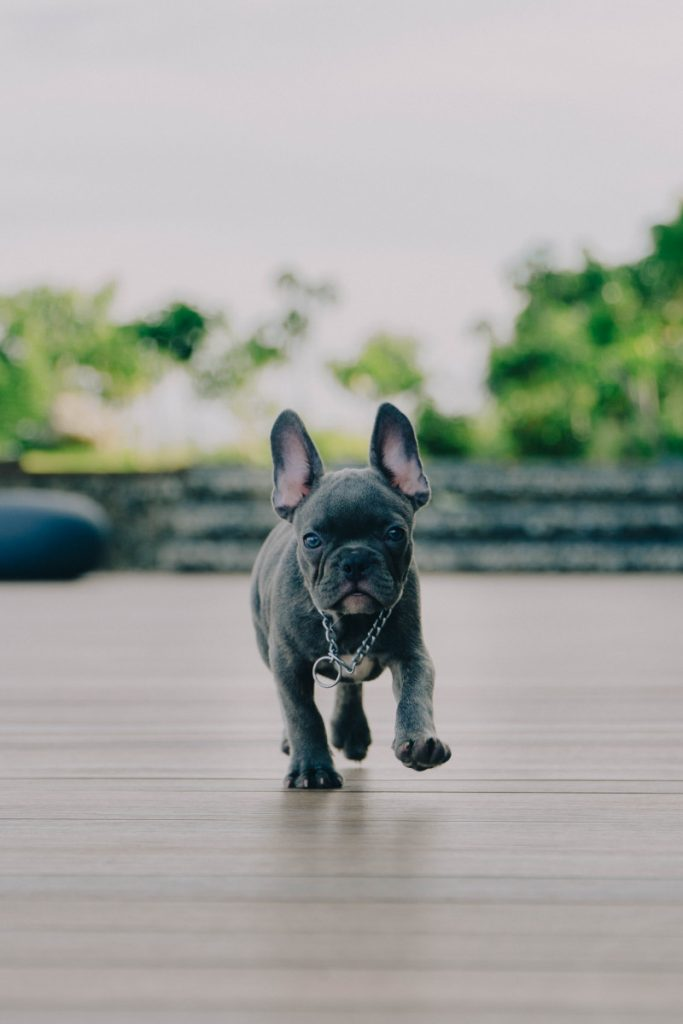 why you shouldn't buy a French bulldog?