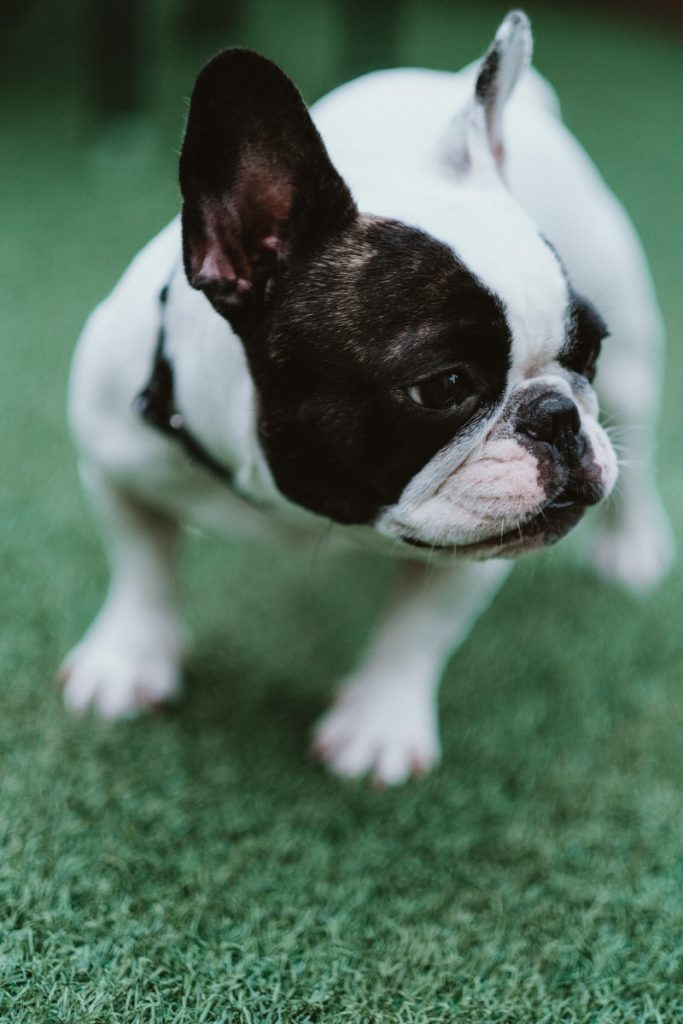 Best Dog Harness for French Bulldogs (2021) Buyers guide
