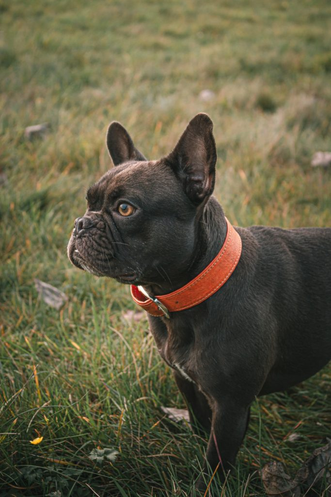 Best Dog Collars For French Bulldogs