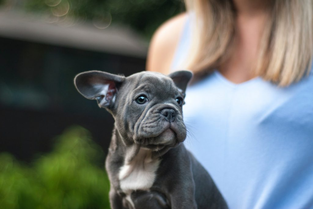 Why are my French Bulldog's ears curling?