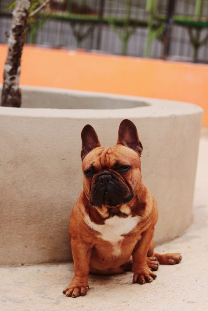Why Are My French Bulldog's Nipples So Big?