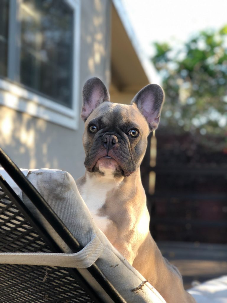 Why is my French bulldog shaking and panting?