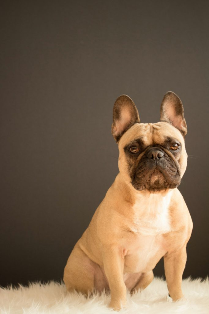 How Old Does A French Bulldog Have To Be To Stud?