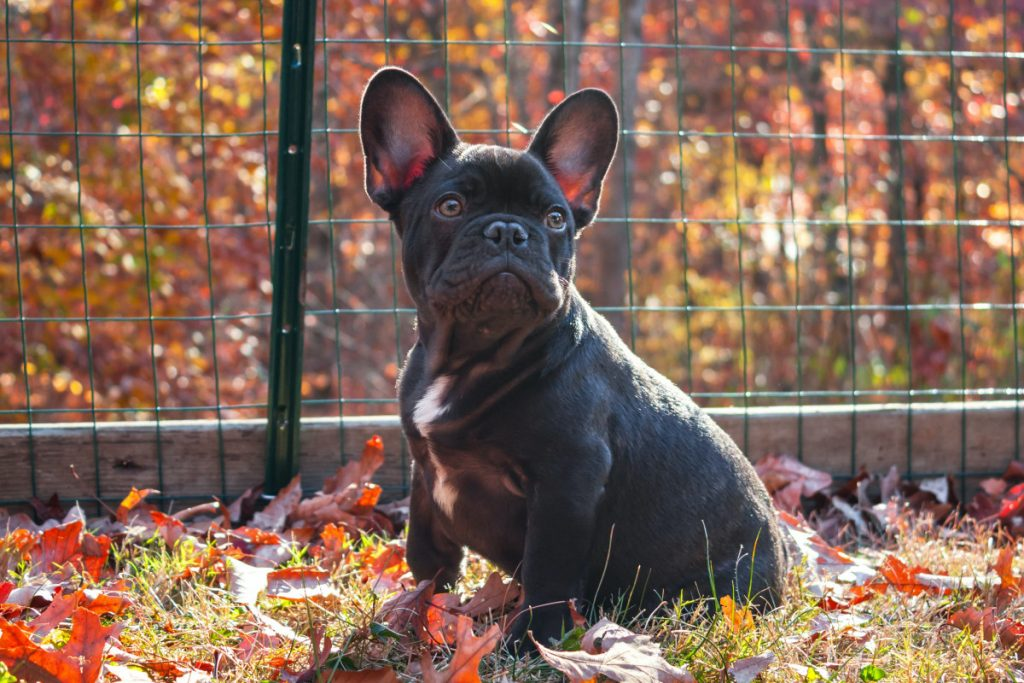 playpen for a french bulldog