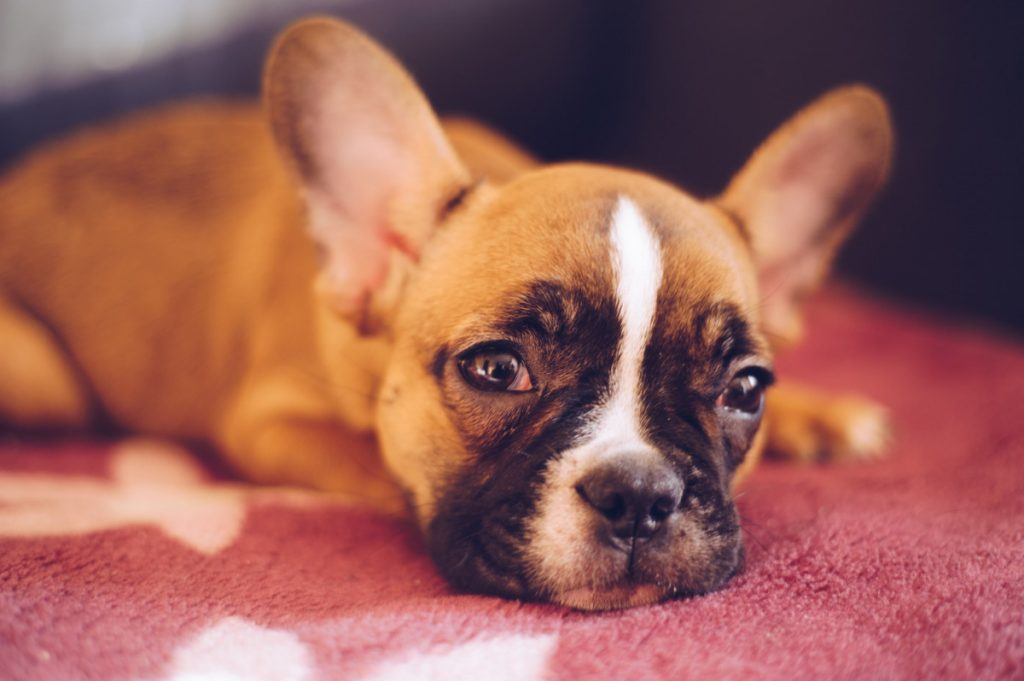 Do French Bulldogs Calm down after being spayed