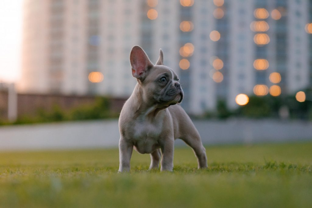 why does my french bulldog keep scratching his ears?