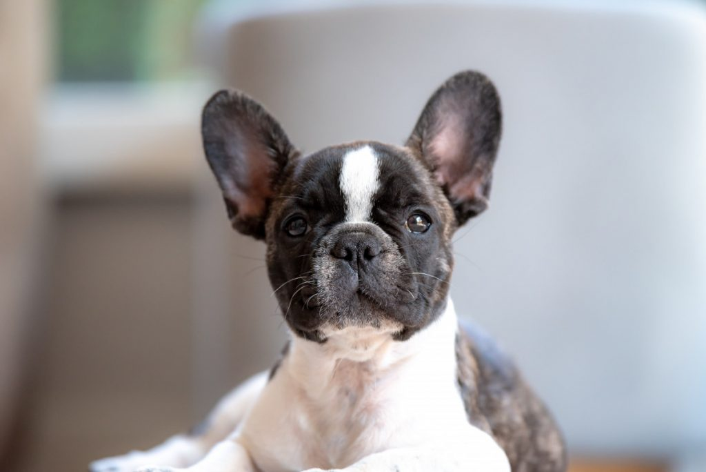 Why are French Bulldogs so Hard to Potty Train