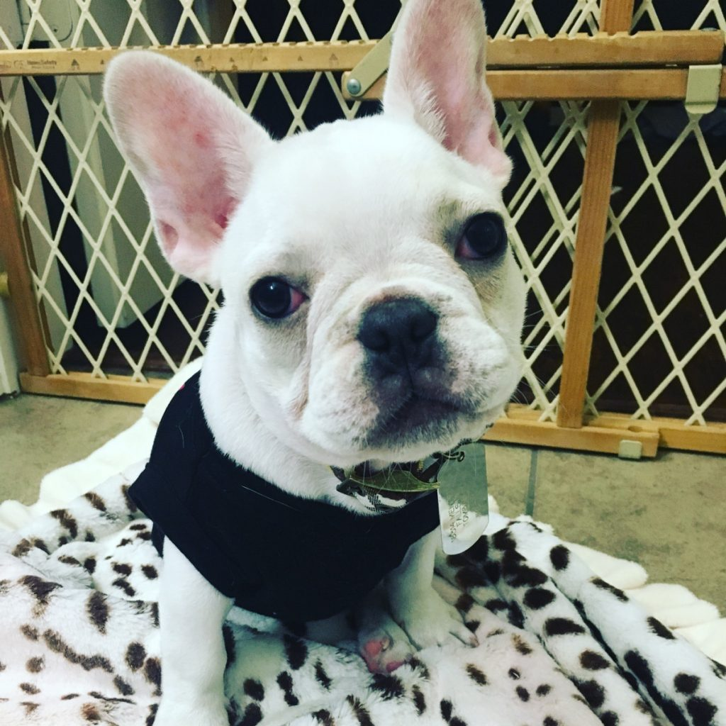 How Do I Make Sure I'm Buying A Healthy French Bulldog?