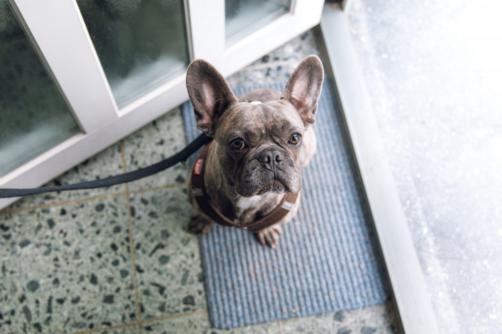 Why do French Bulldogs Vary in Body Build